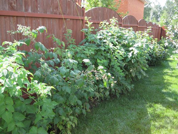Где сажать ежевику садовую 42